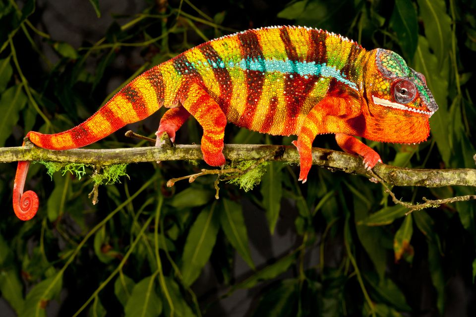 A colorful panther chameleon