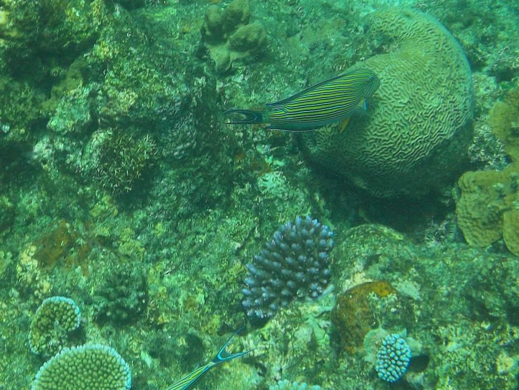 A clown surgeonfish in the ocean