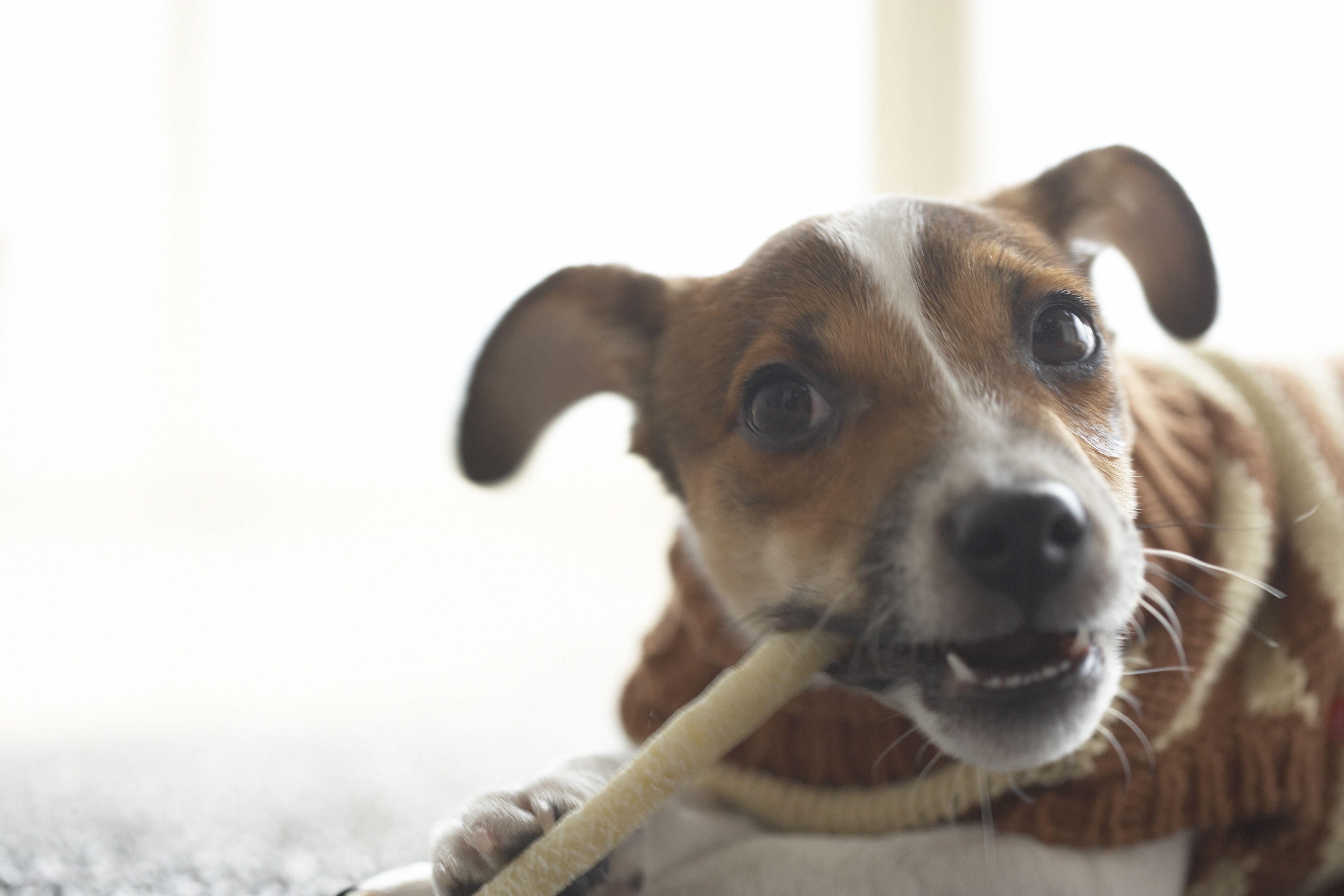 Juguete para masticar jack russel terrier