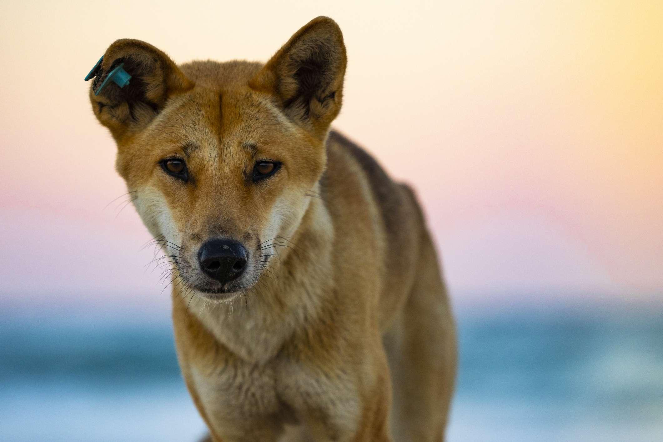 Australian dingo profile in front of sunset
