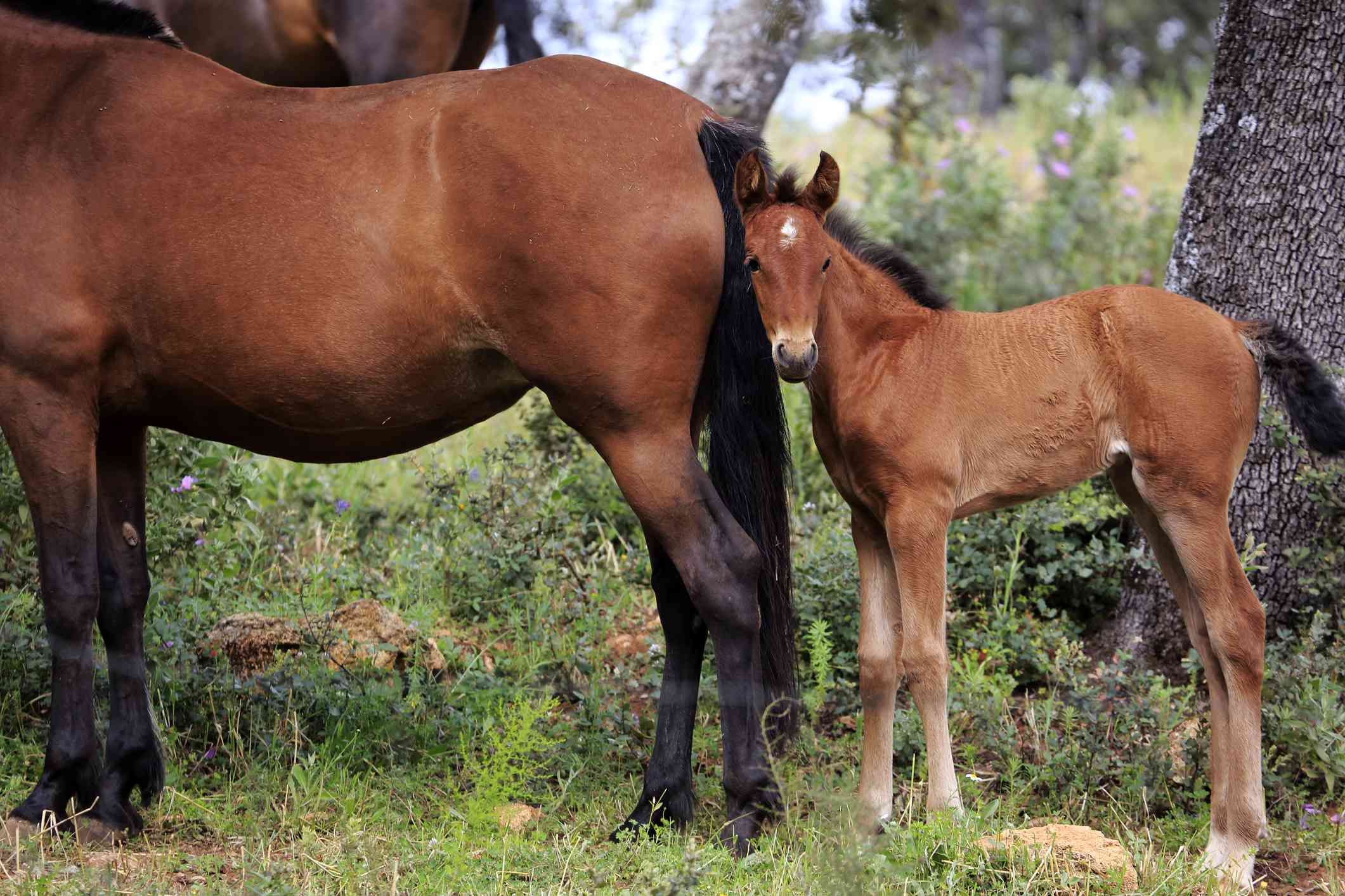 Bay Andalusian mare and foal in a paddock