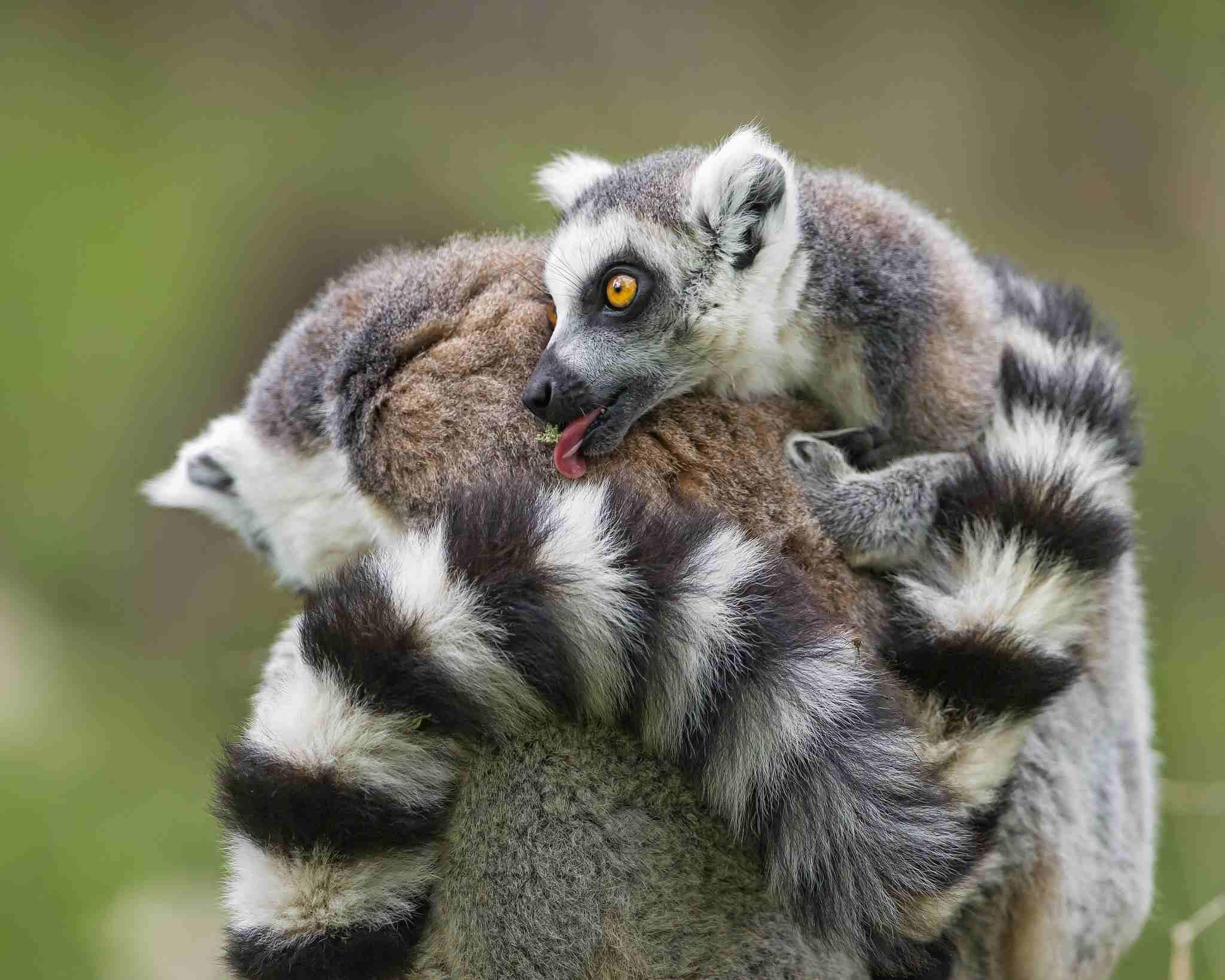 bebé lémur acicalado mamá