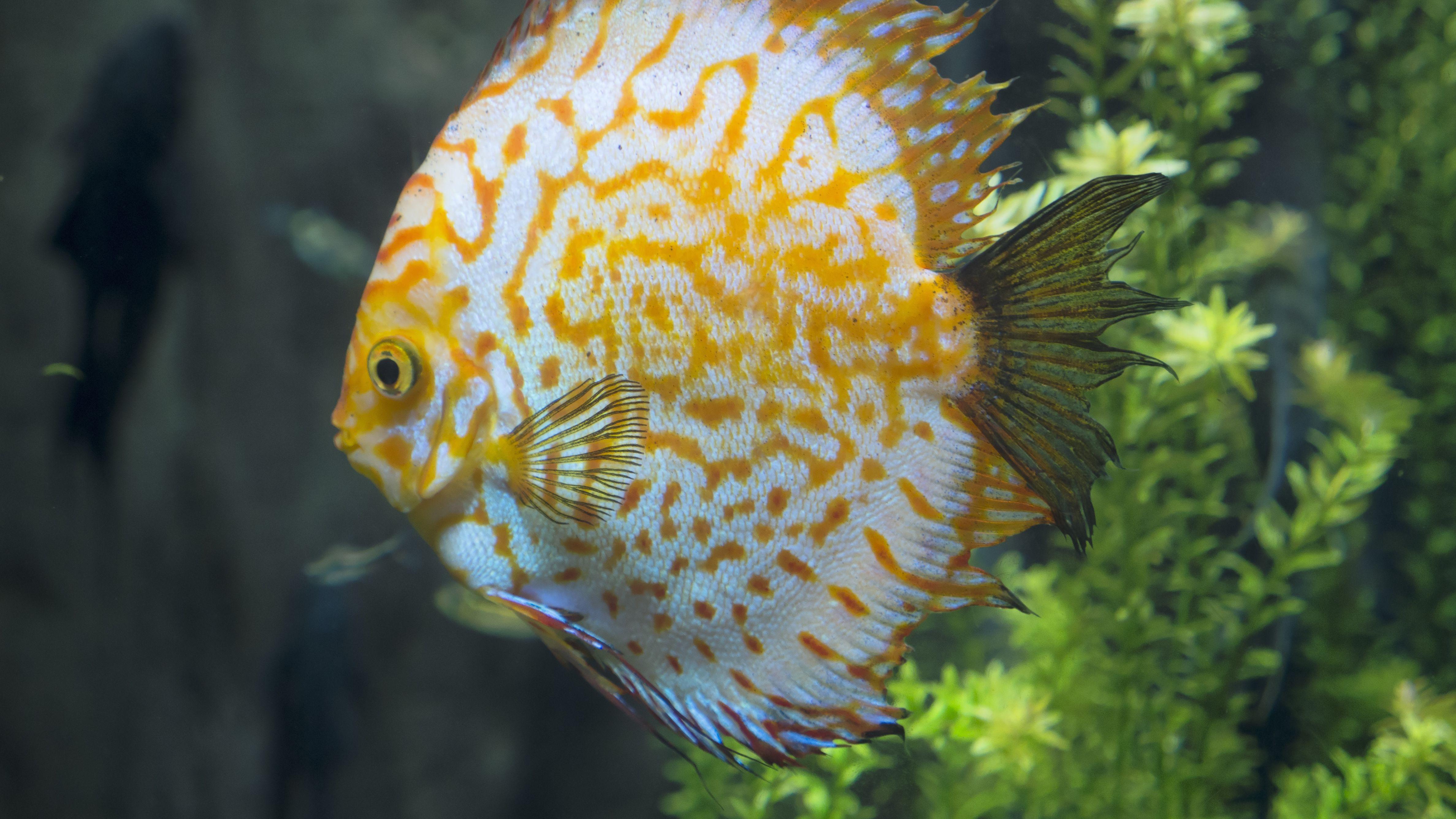 Learn About Symphysodon Discus Pompadour Fish