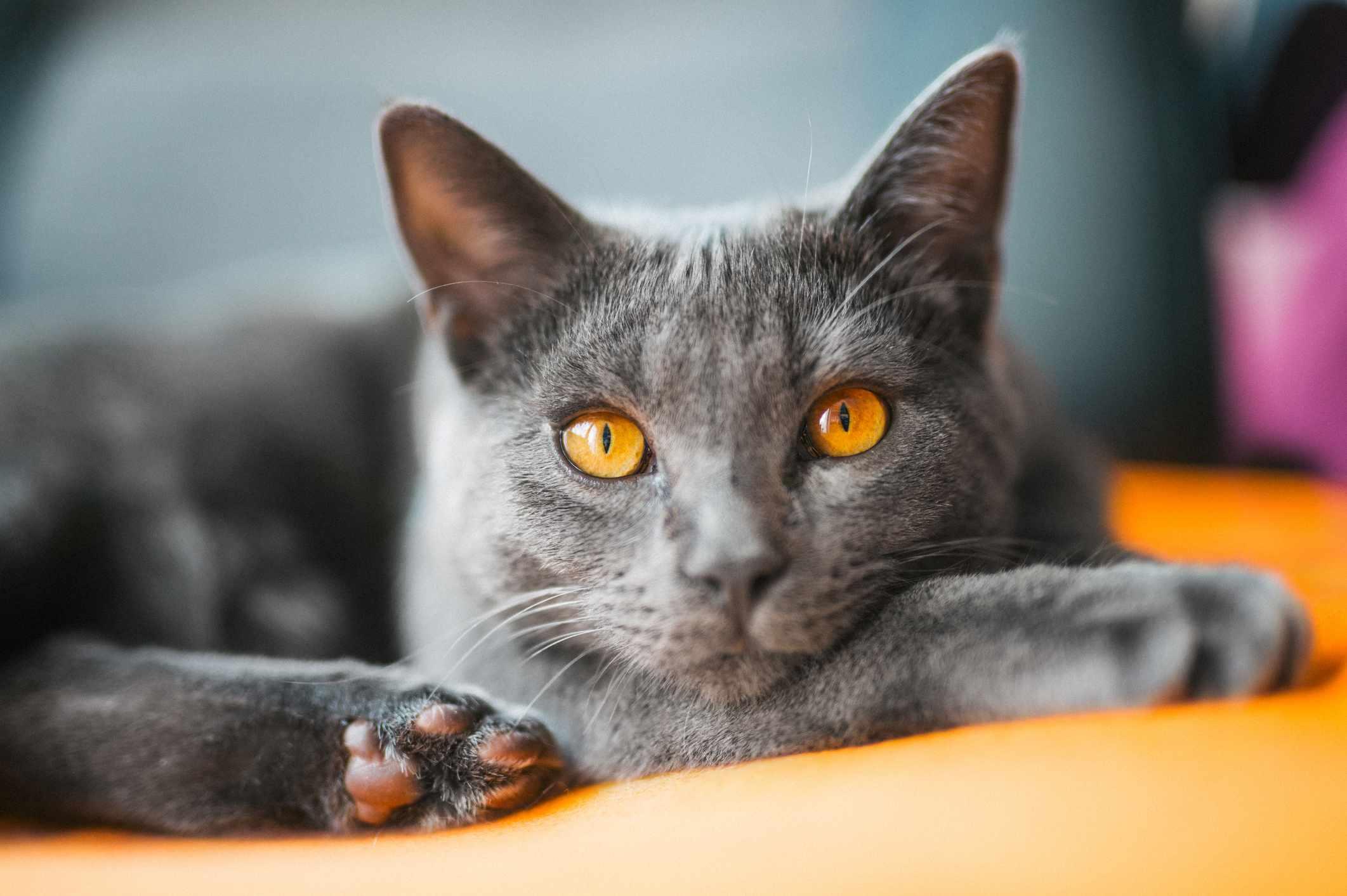 Chartreux cat close-up