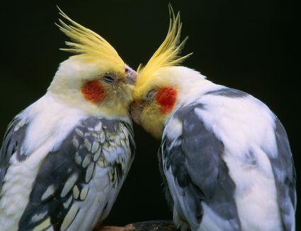 Cockatiel, couple