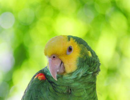 Yellow-Headed Amazon parrot