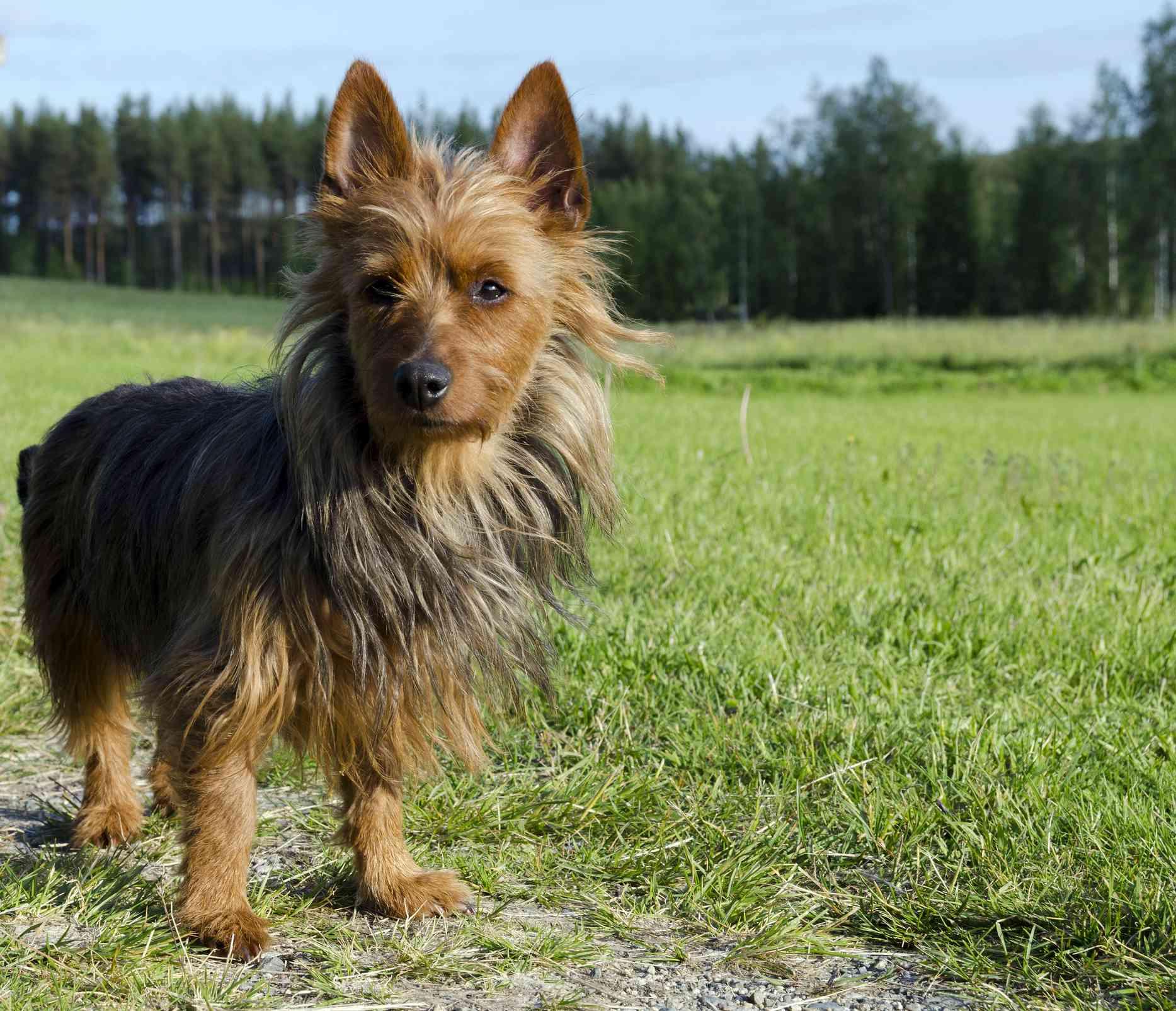 Australian terrier standing on grass