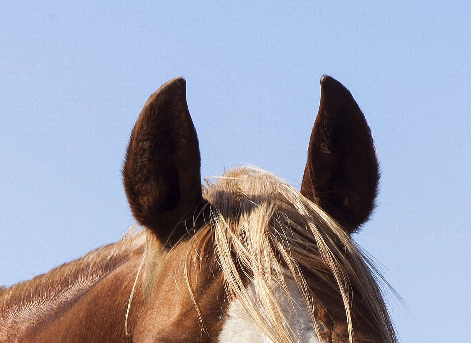 closeup of poll and ears of a horse
