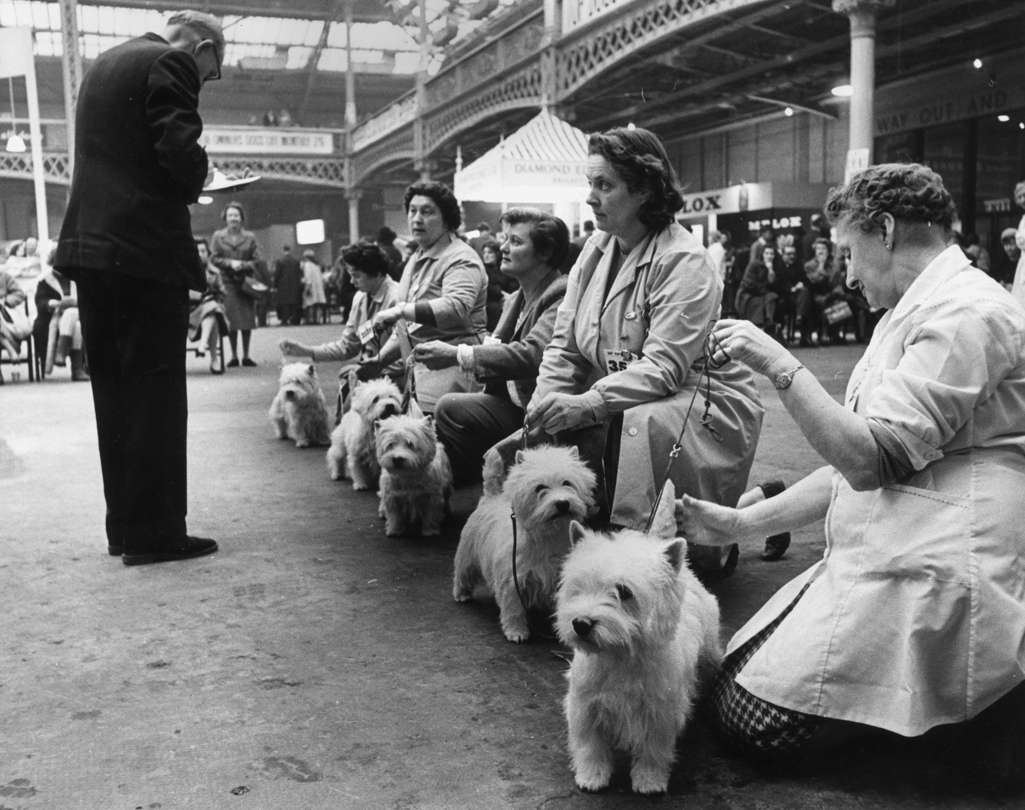 Westie Cruft's Dog Show