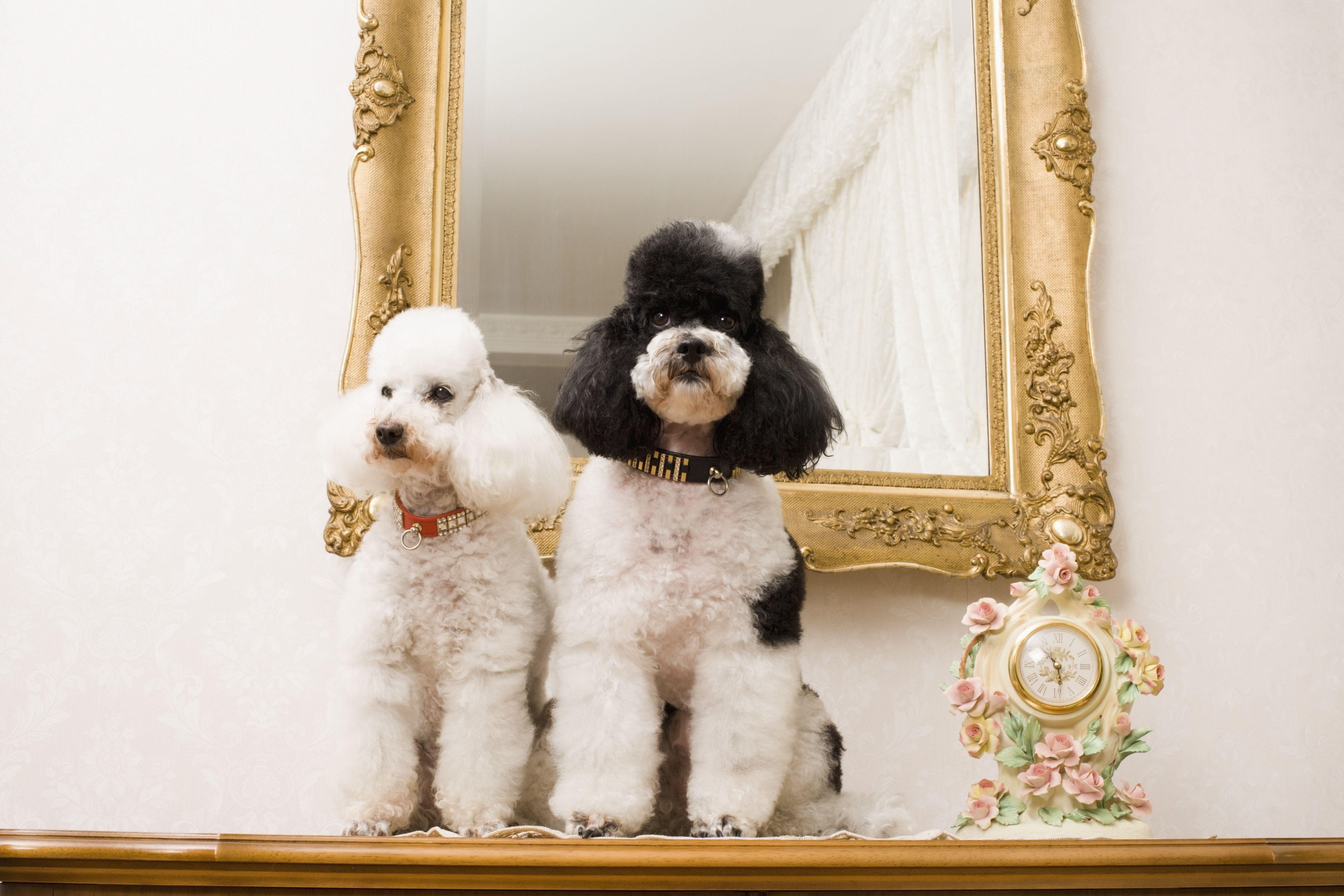 Caniches junto a un espejo , Un cachorro de Shih Tzu , West Highland white terrier