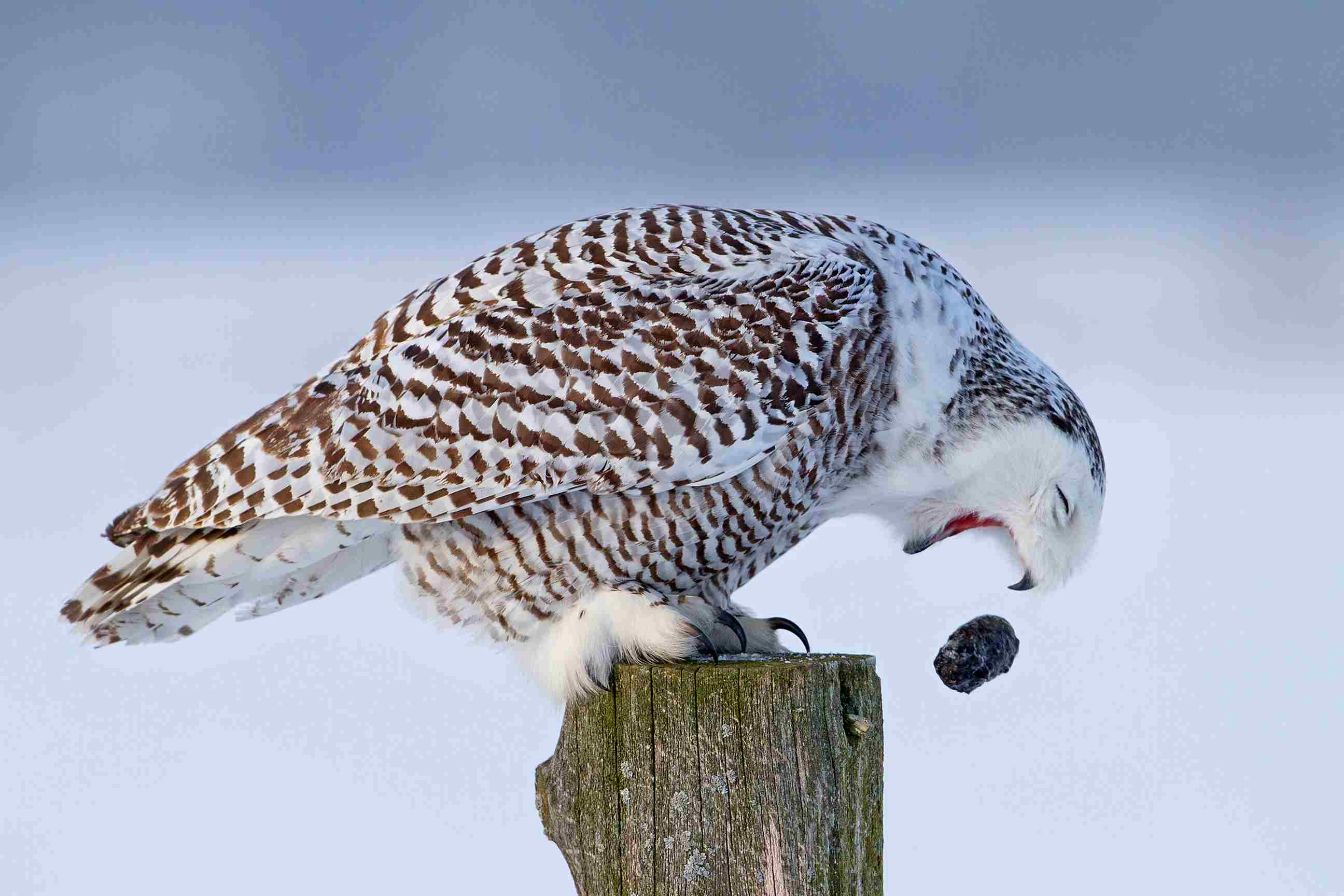 An owl dropping someing out of its mouth