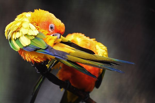 Parrot feather plucking