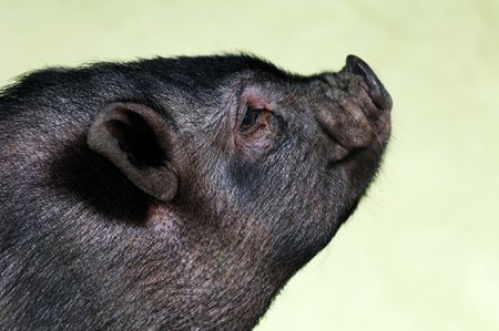 Lifespan and Care of Potbellied Pigs