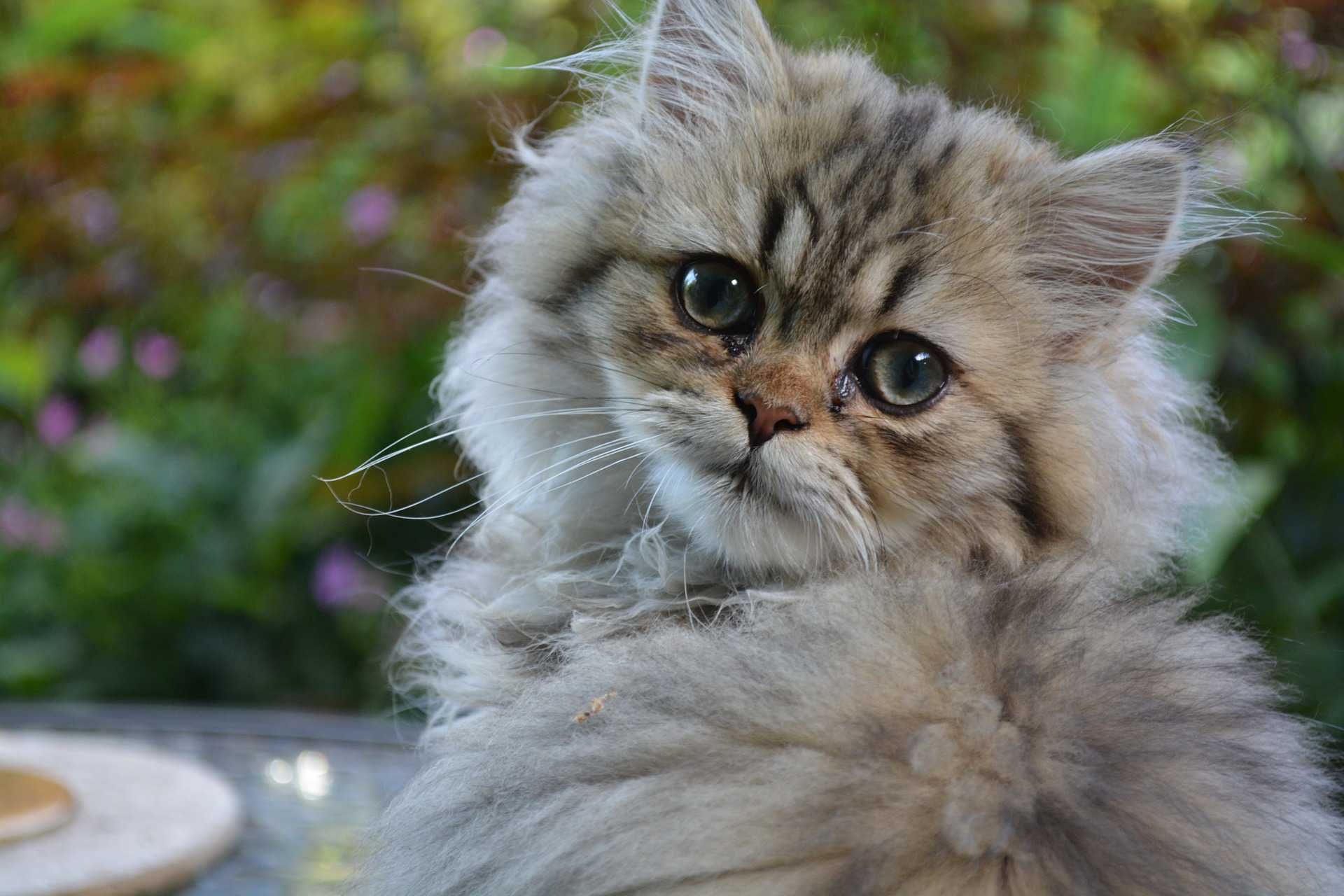 A Persian kitten looking into the camera.