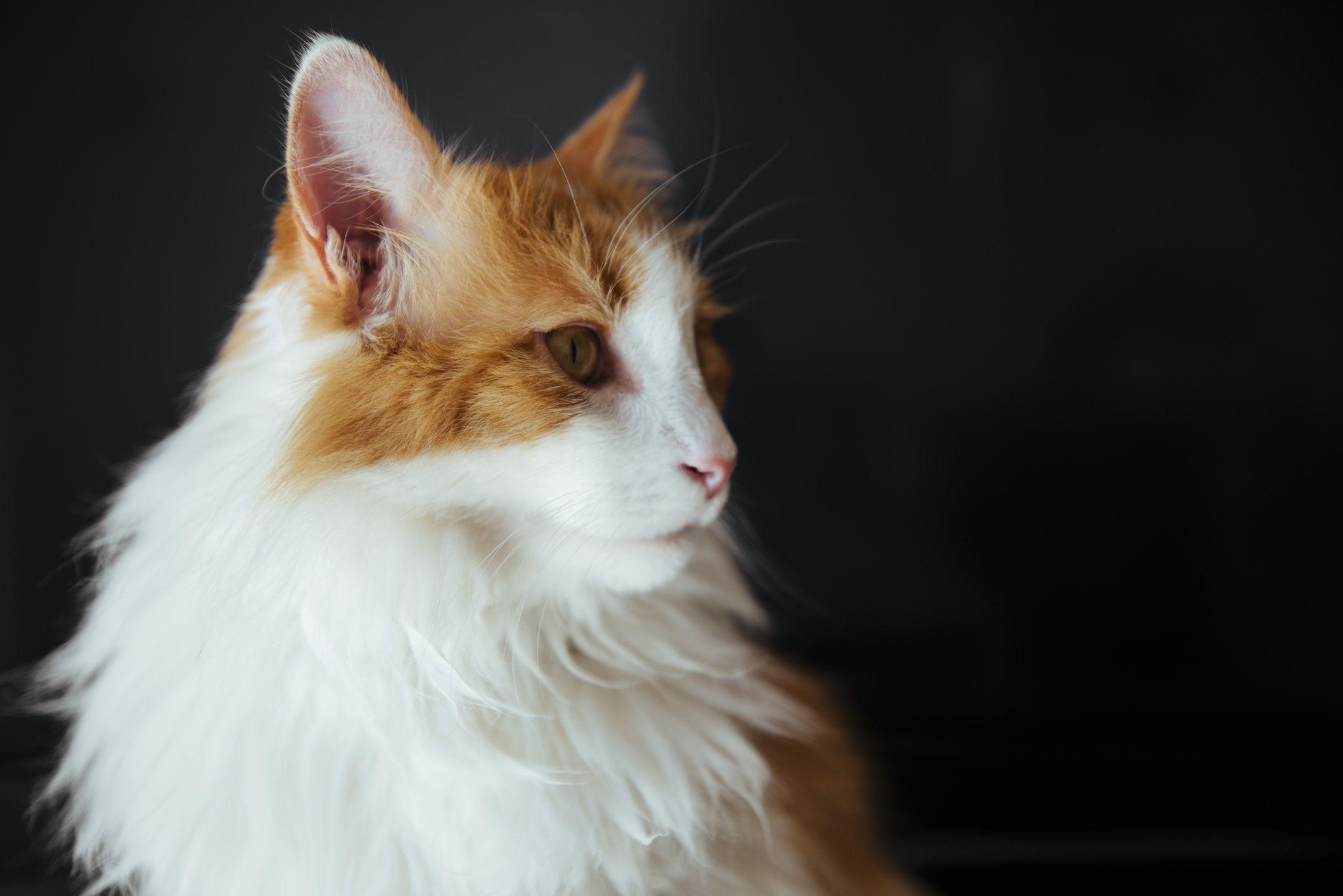 Un gran, gato esponjoso con marcas naranjas y blancas delante de un fondo negro sólido. , Un gato persa anaranjado de cara plana mirando a la cámara recostada en una silla de felpa. , Chausie (Felis silvestris catus x Felis chaus): híbrido de gato doméstico y gato de la jungla, India , Un gato marrón esponjoso con marcas blancas y negras sobre un piso de madera , Un gato doméstico con forma de jaguar con manchas negras y ojos grandes en un sofá , Un gato naranja con una cola corta y movida sobre una lavadora , Un primer plano de un gato ragamuffin , Gato de Bengala sentado