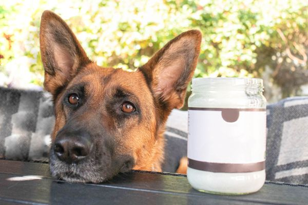 German Shepard dog laying its head on table next to jar of coconut oil