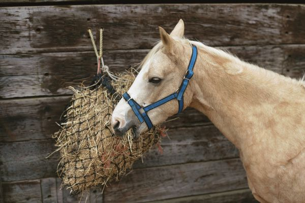 pony eating hay from a net