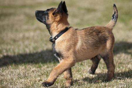 belgian malinois puppies breed at a glance