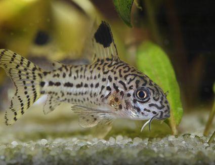 Corydoras julii fish