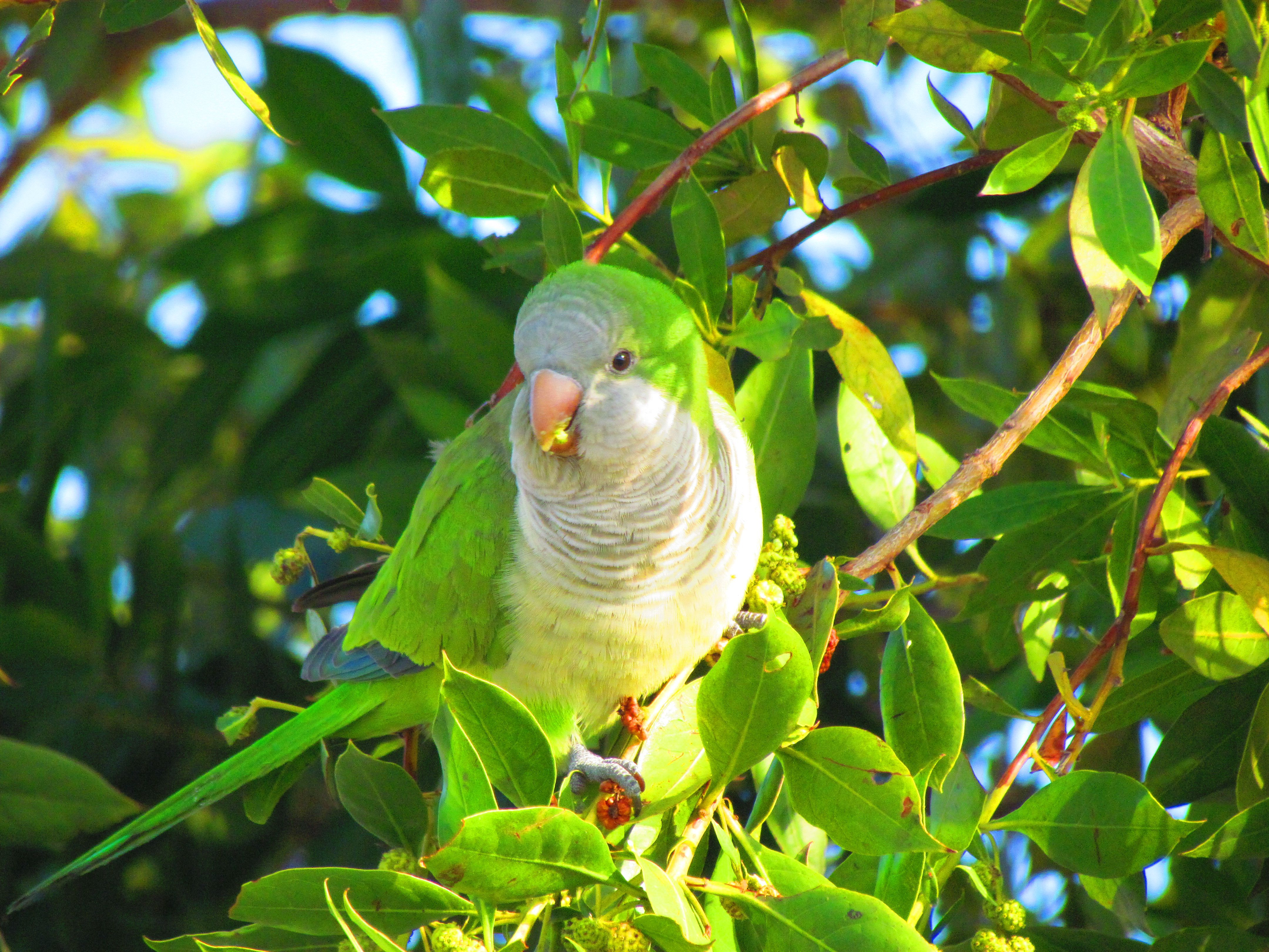 Quaker parrot in a tree