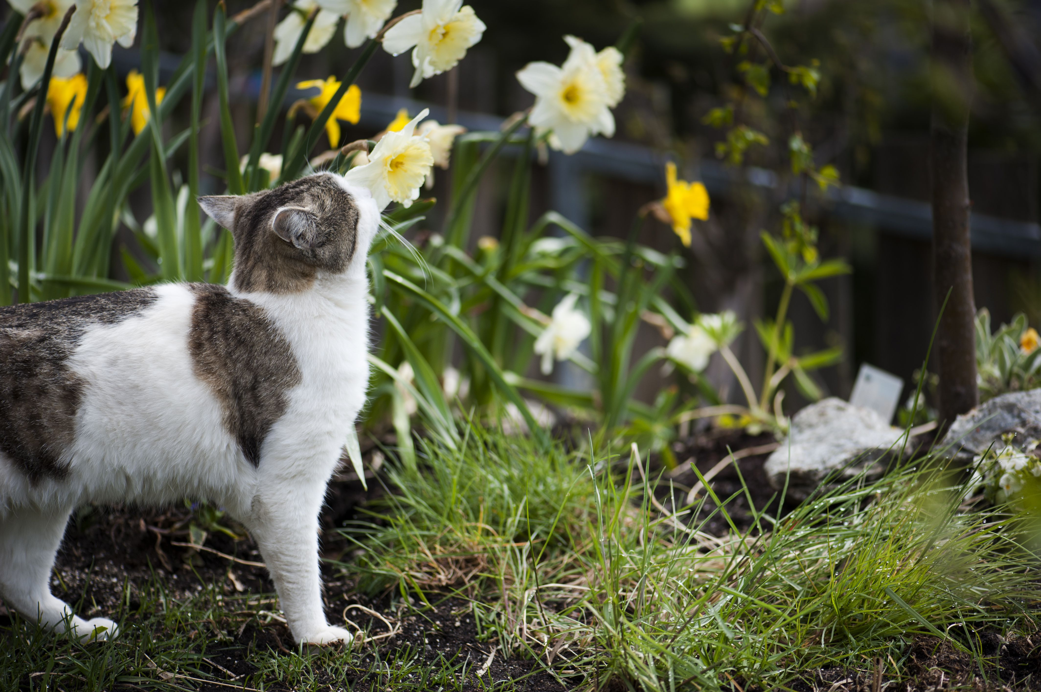 Gato que controla narcisos