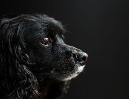 Black cocker spaniel head profile.