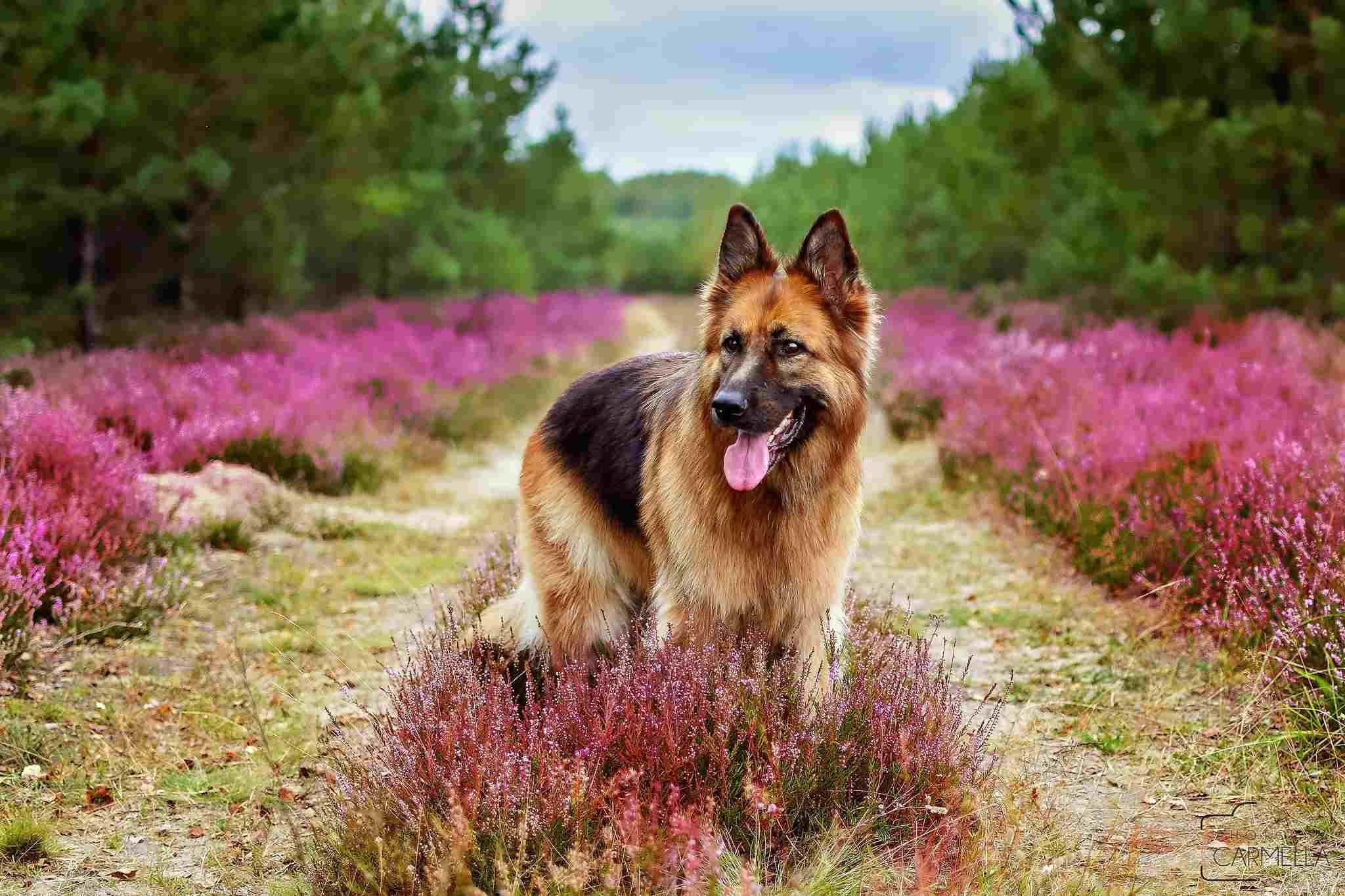 lindo pastor alemán en campo