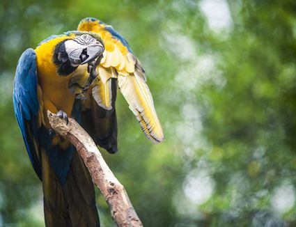 A blue-yellow macaw scratching itself