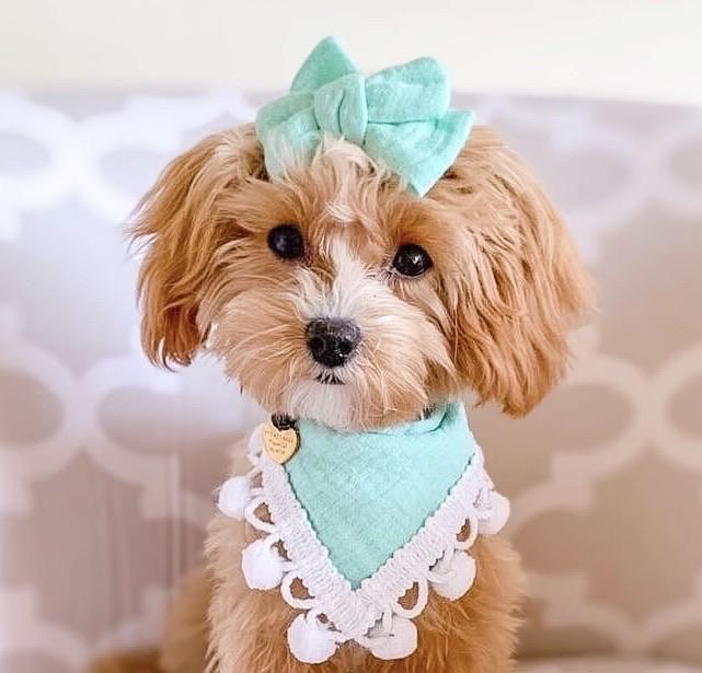 Agnus Dog Bandana
