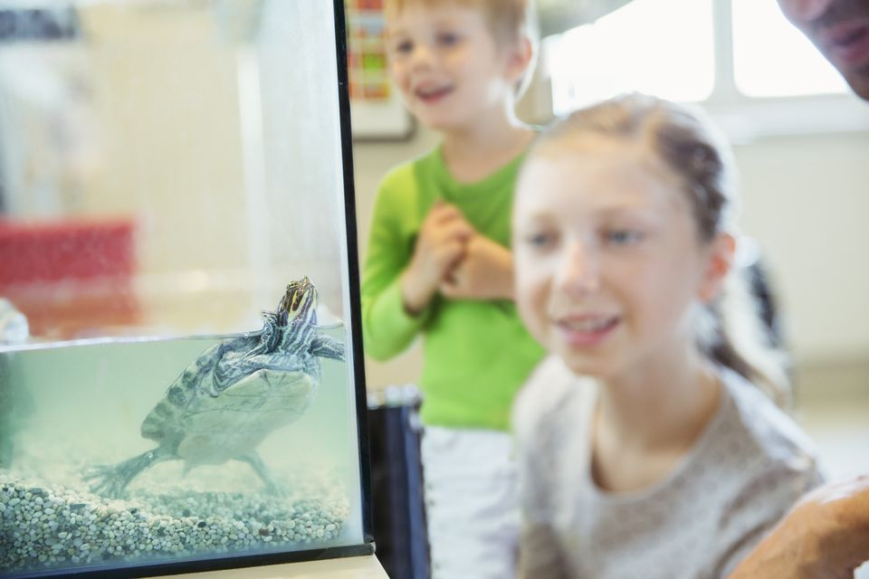 Girl watching turtle swim in glass tank