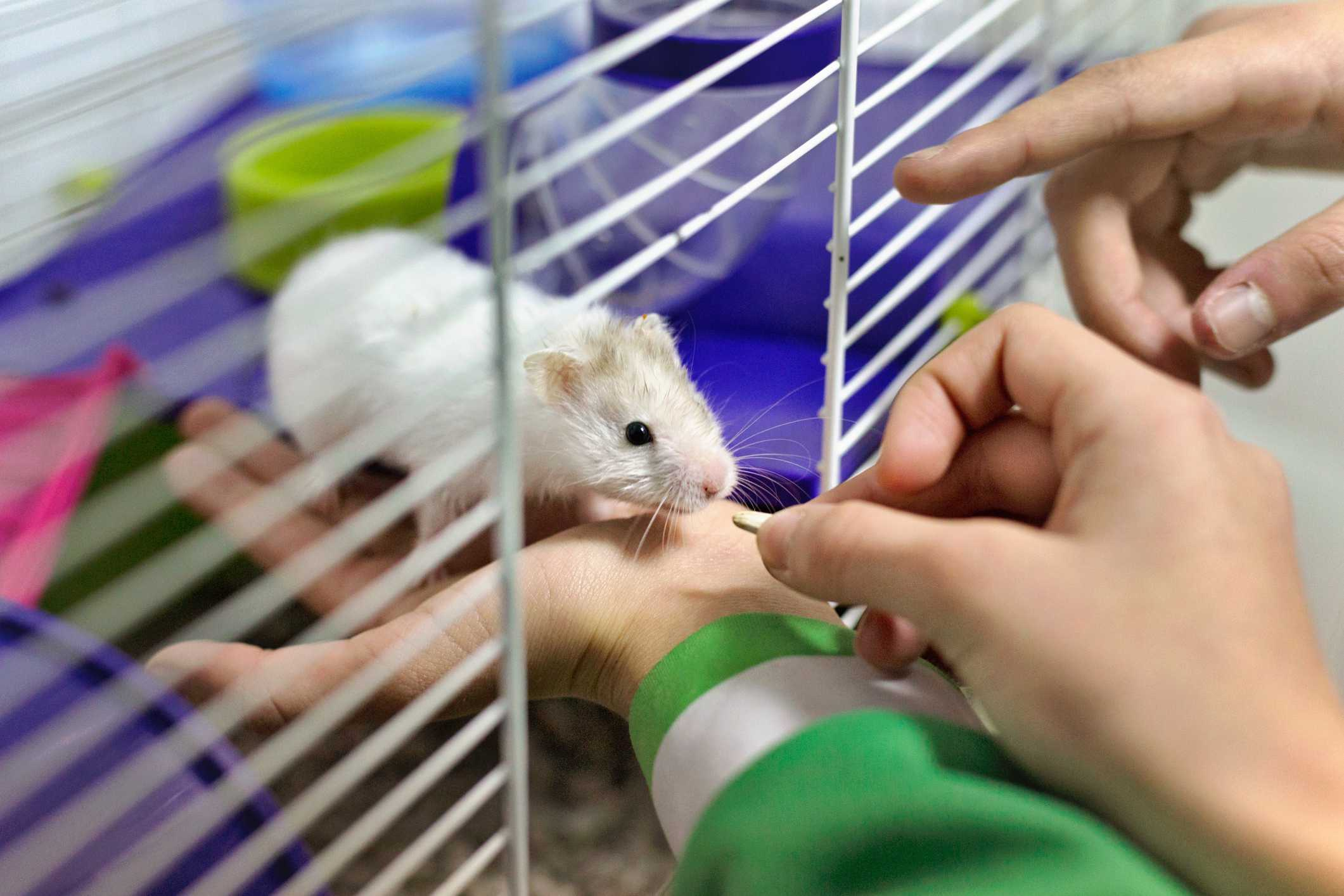 Children feeding a hamster through the door of its cage