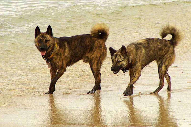 ryukyu dogs