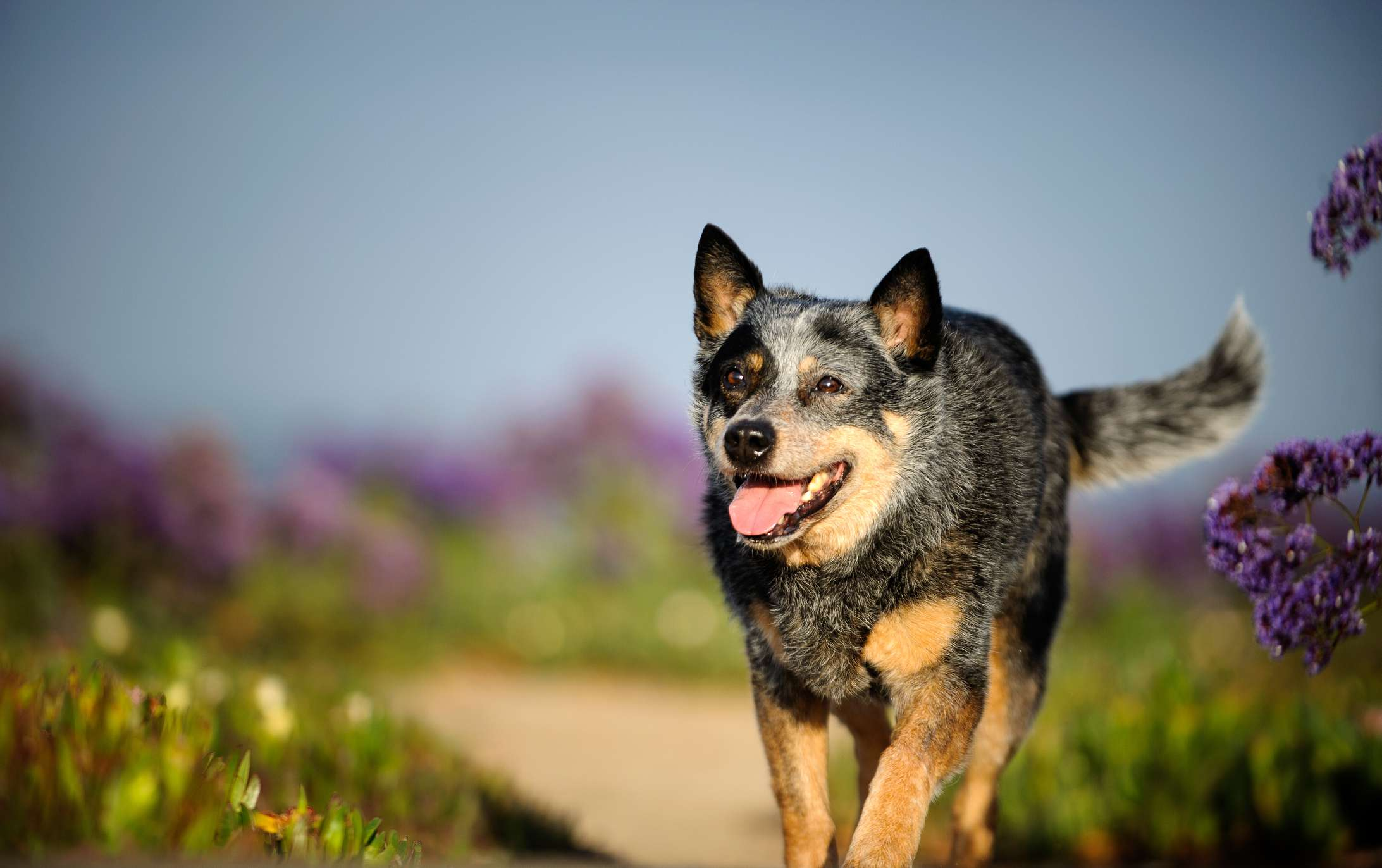 Australian cattle dog blue heeler walking outside; best dog breeds for warm weather