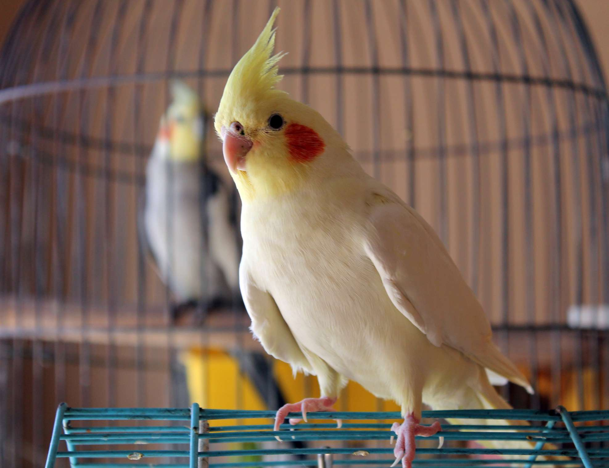 white cockatiel outside a cage with a gray cockatiel inside