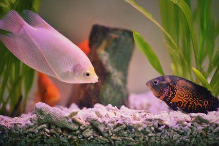 Big Freshwater Aquarium Fish   Don T Put Too Many Fish I Your Aquarium
