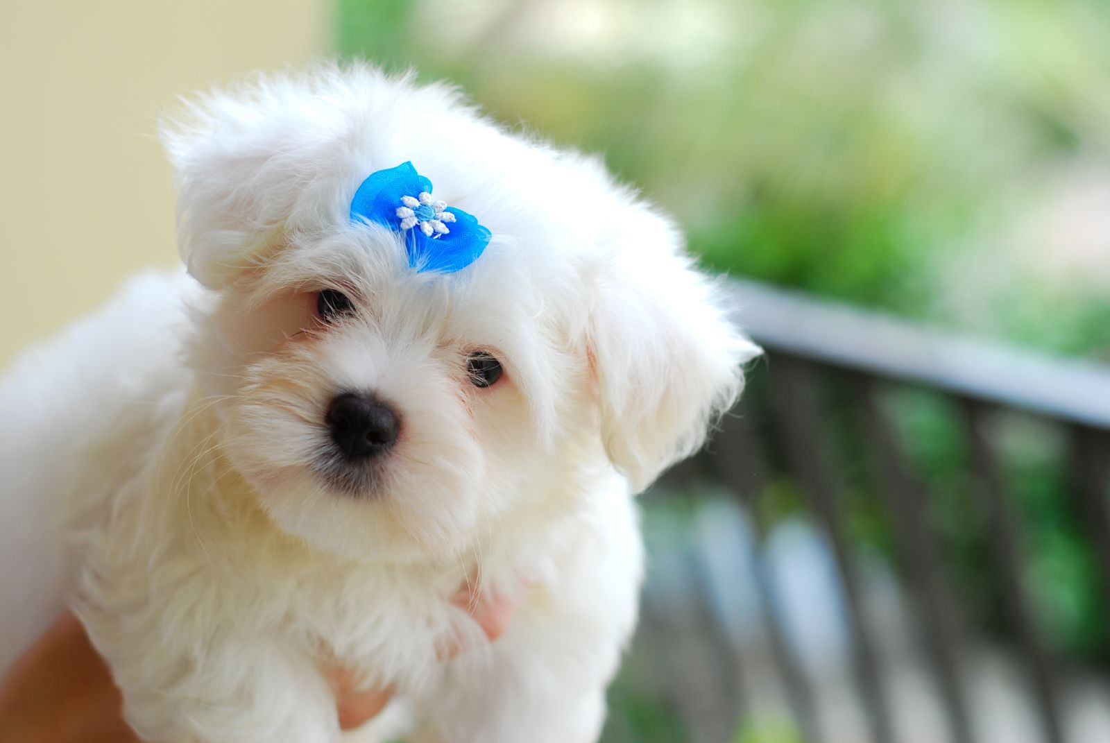 Small fluffy white dog with a blue bow