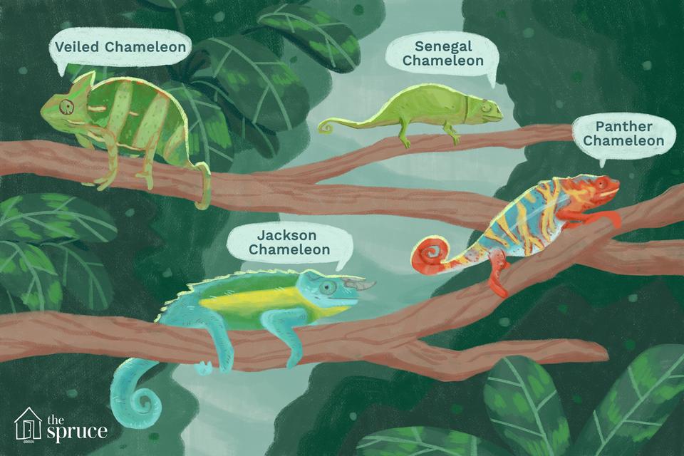 tipos de ilustración de camaleones