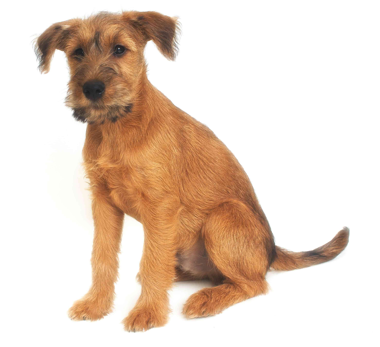 Irish Terrier puppy sitting against a white background