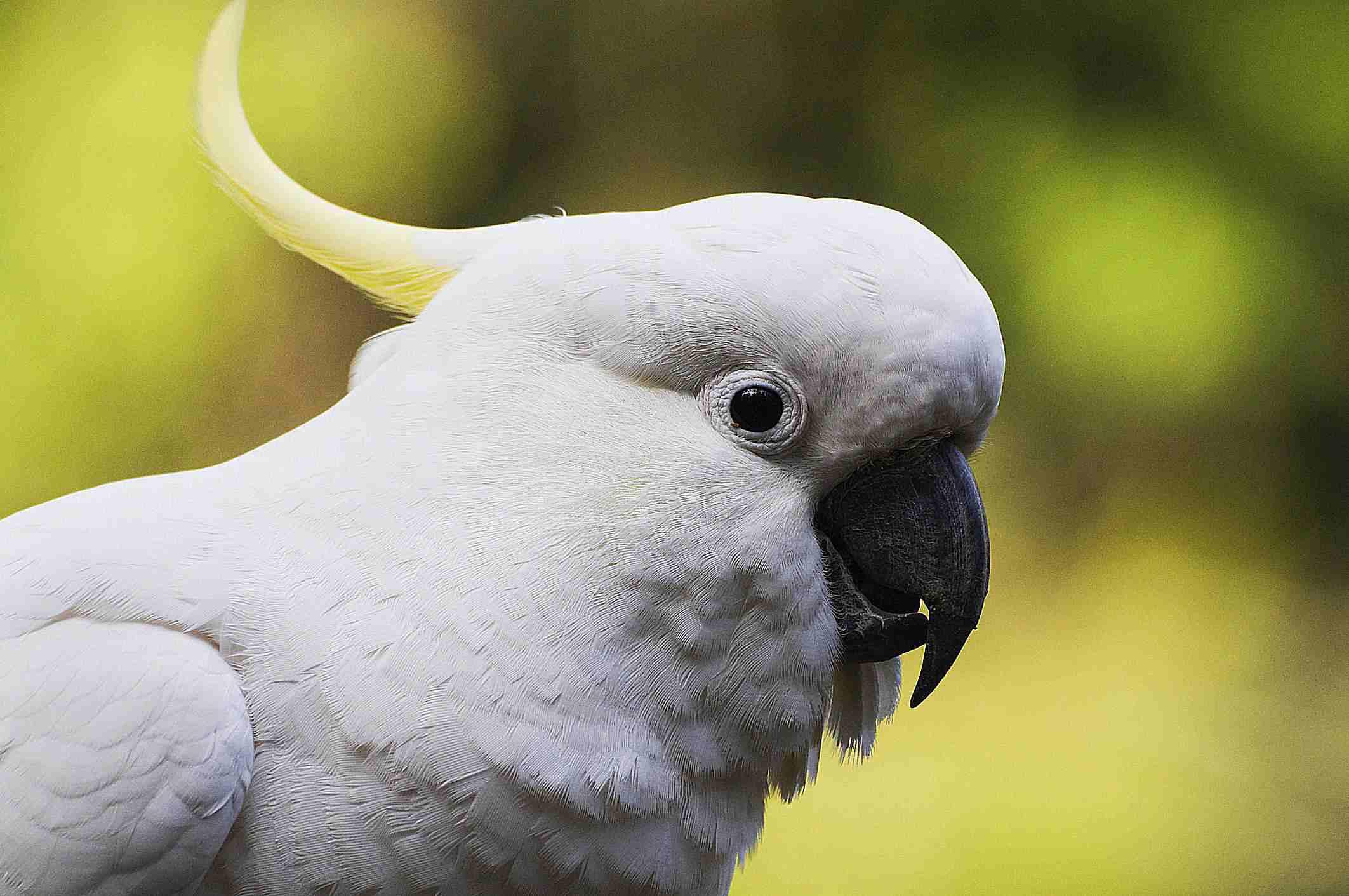 Close-up shot of a cockatoo