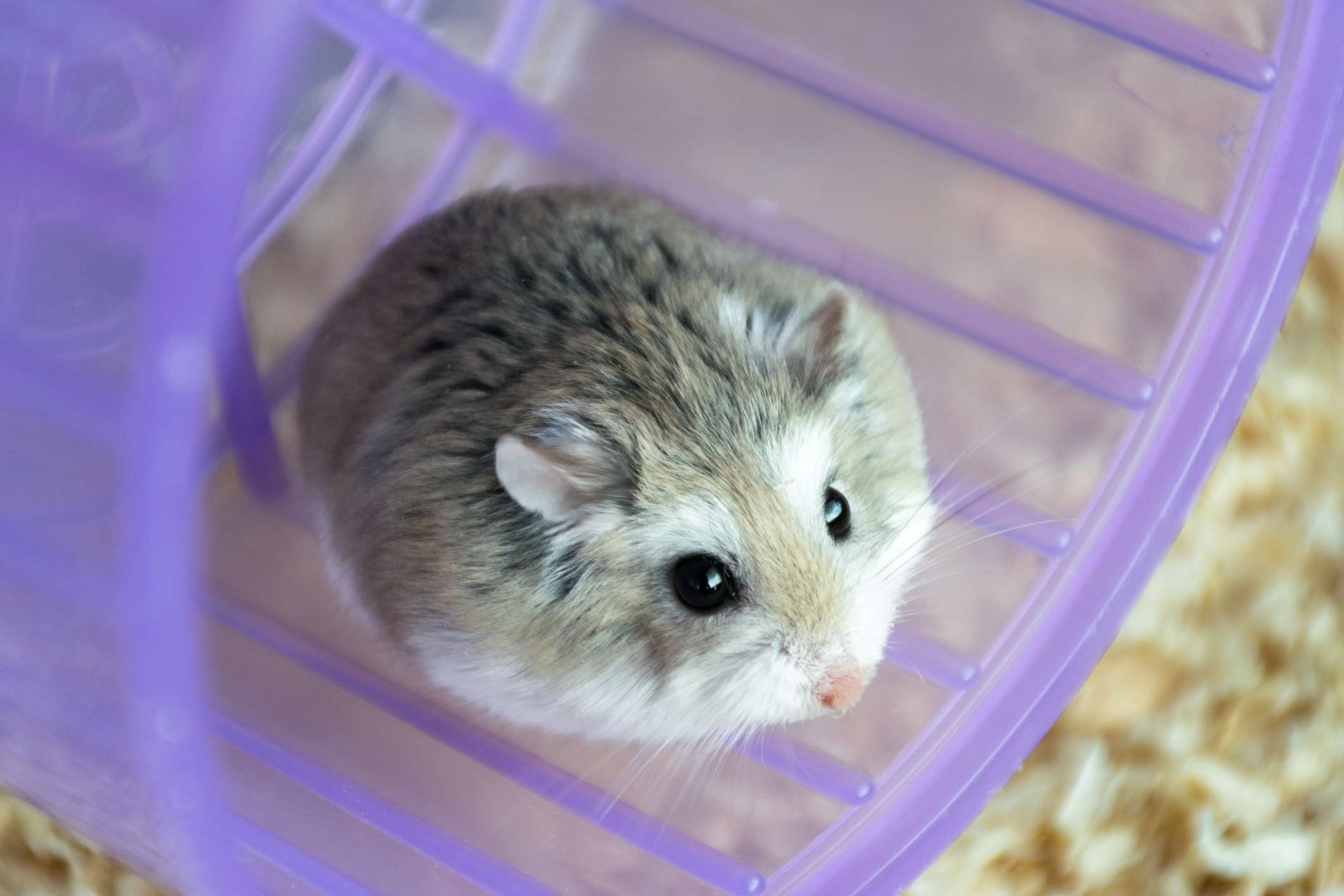 Dwarf Roborovski (Phodopus roborovski) hamster on wheel