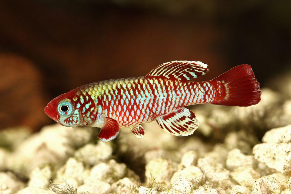 Impresionante killifish rojo nadando en un acuario.