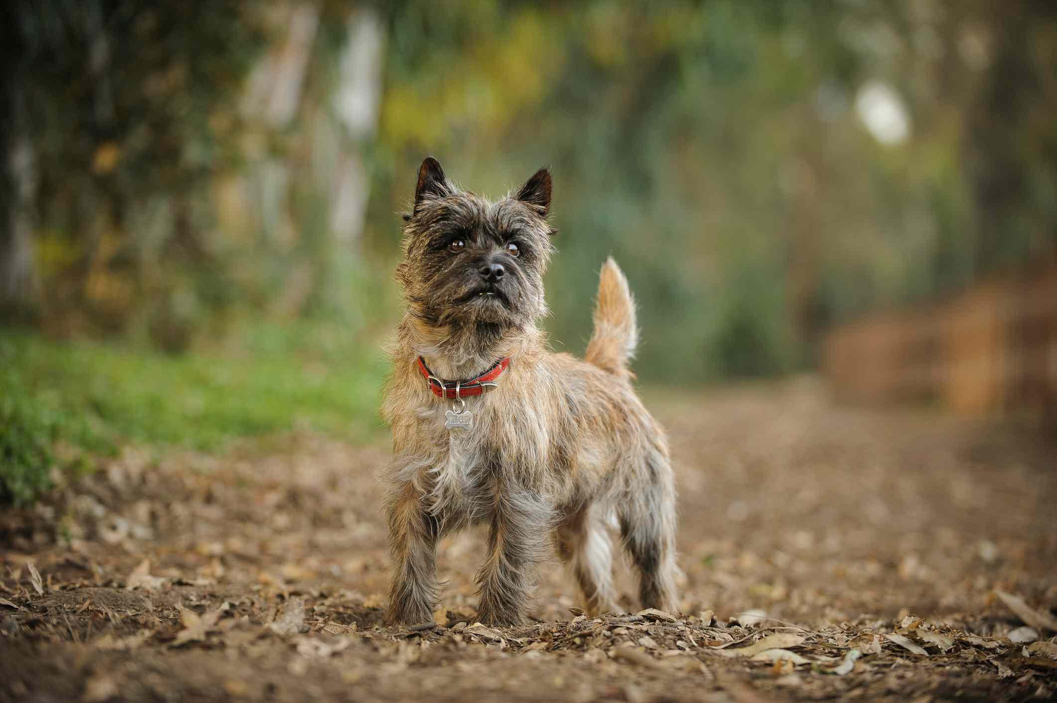 Cairn terrier in a forest