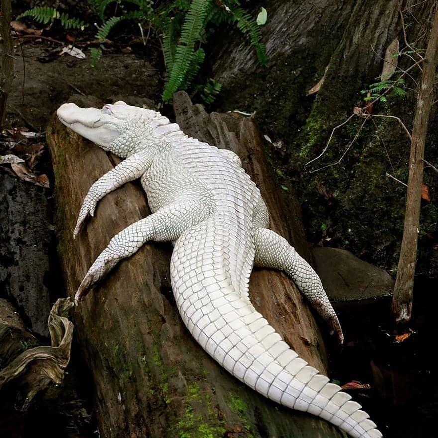 An albino alligator lounging on a log.