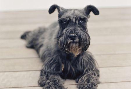 miniature schnauzer dog breed profile