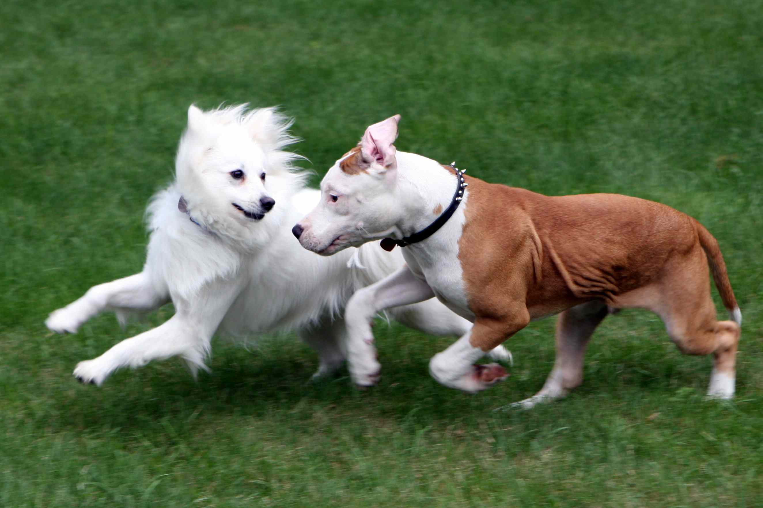 Two dogs An American Eskimo breed and Bull Terrier puppy playing in the grass