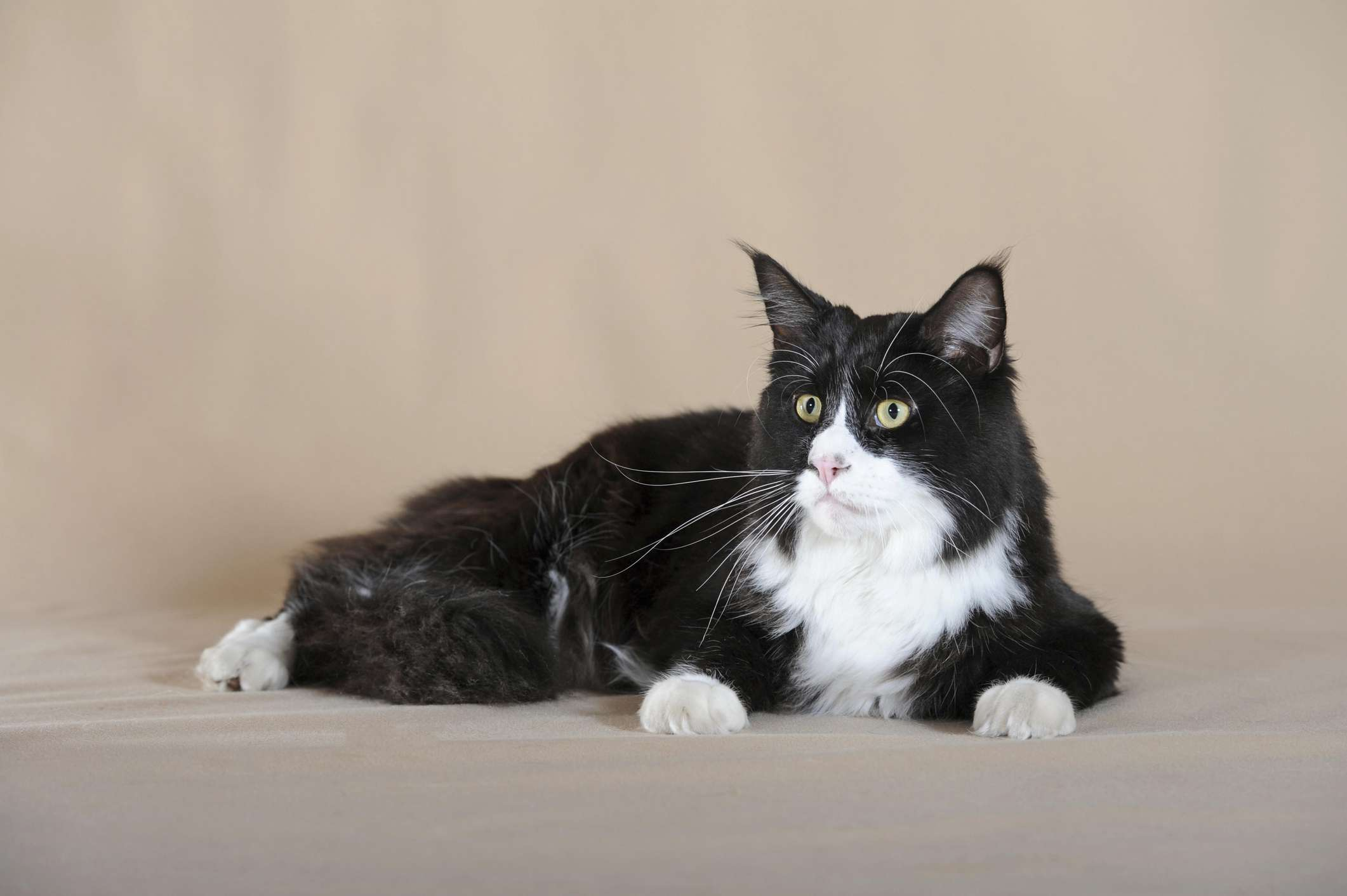 Black and white Maine Coon lying down with a beige background