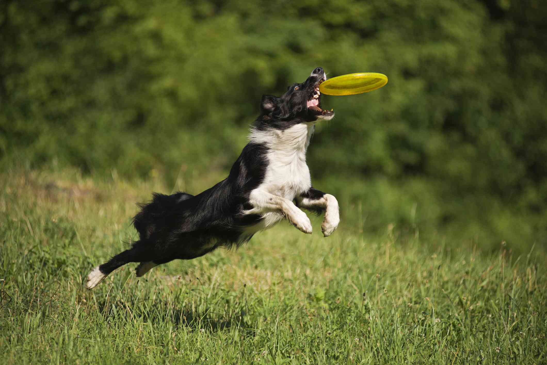 border collie jumping up from green grass