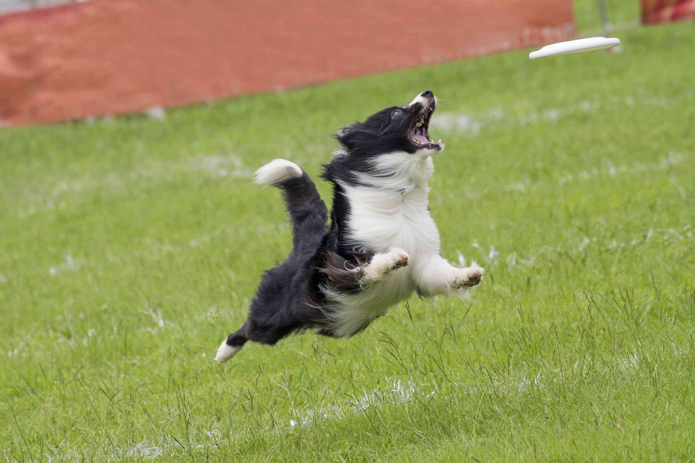 border collie catching a frisbee on grass
