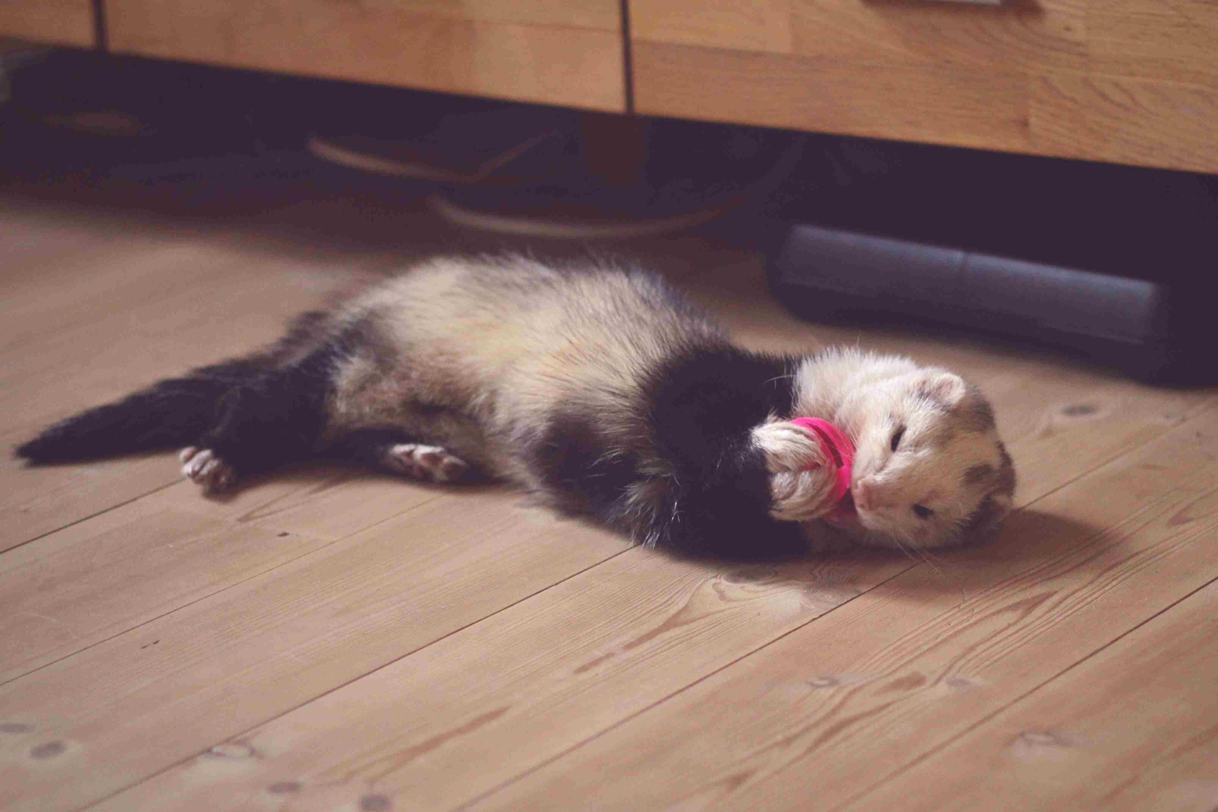 Hurón jugando con un juguete rosa mientras está acostado en el piso de madera.