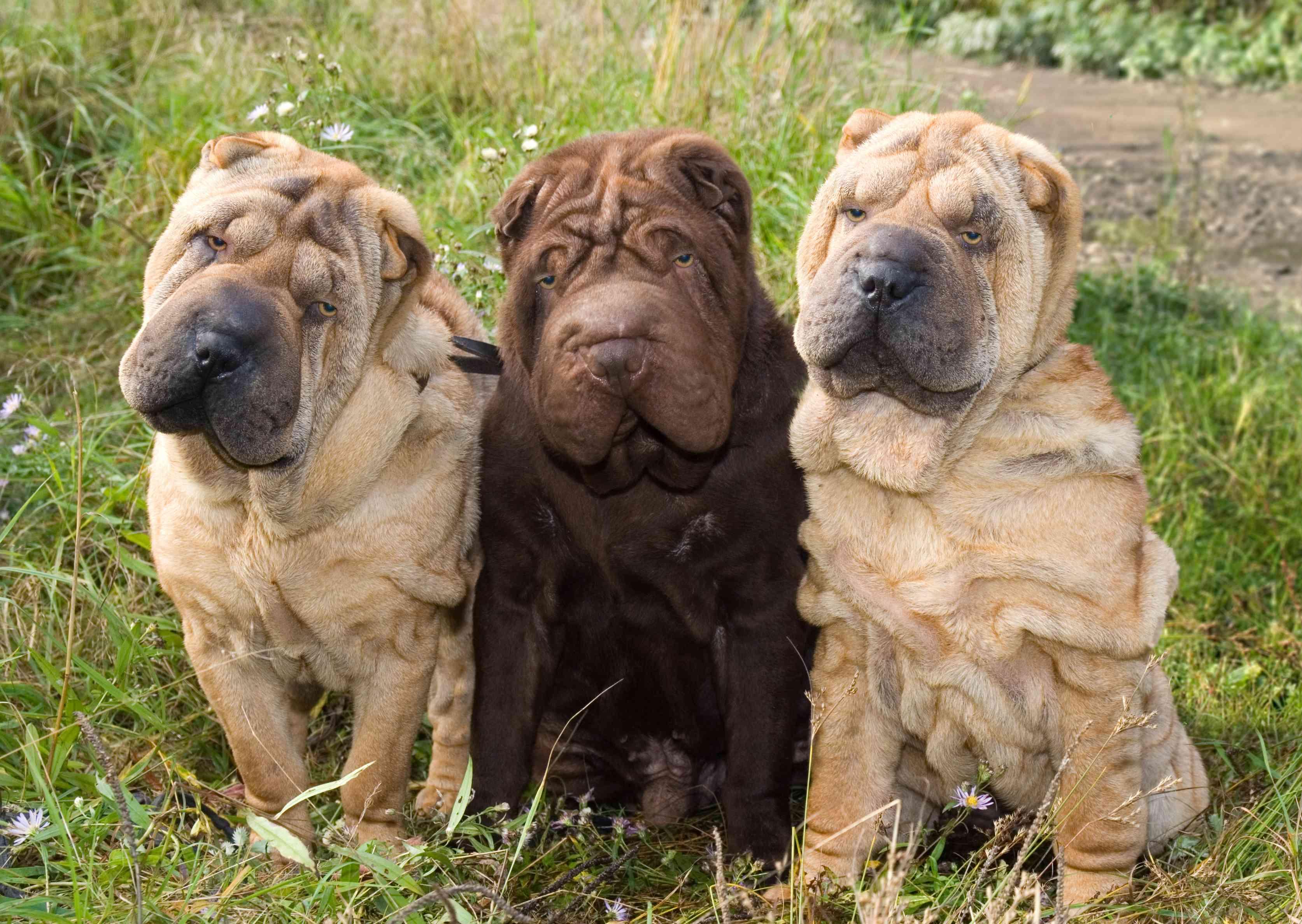 Tres cachorros de Shar Pei
